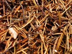 Dried pine thorns fallen on forest floor close up