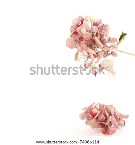 Dried pink hortensia with space for text