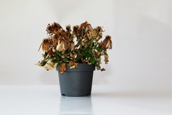 Dried plant in a pot on a gray background. The flower wilted in the pot. The indoor flower is dry. Close-up view.