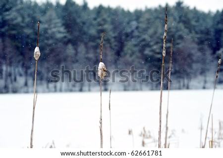 Dried plant on snow  winter  landscape