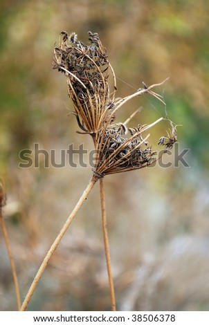 Dried plant with prickly seeds. Also spider web is visible