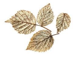 dried pressed silver leaf of raspberry, isolated element
