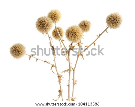 dried prickly plant isolated on ...