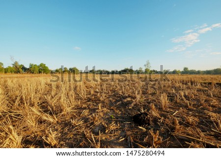 dried rice field after collecting season in thailand.global warming effect picture.