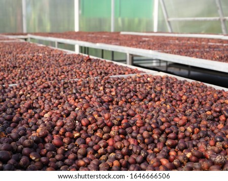Dried Robusta Coffee Cherry. greenhouse solar drying system. Drying coffee bean. Coffee Solar Drying Plant Greenhouse. Dry / Natural Process.