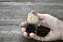 Dried roses in the hand of an elderly woman.  Dramatic toning.