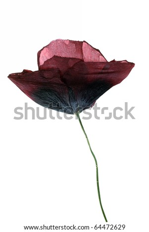 dried Single poppy isolated on white background