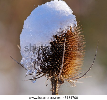 Dried Thistle Flower covered in snow