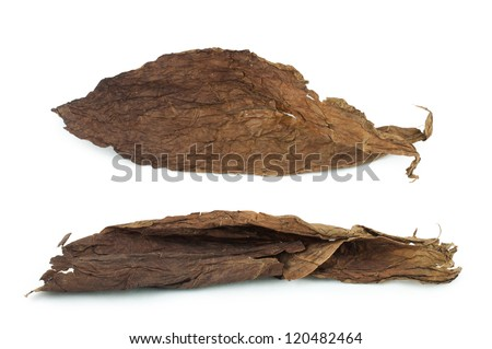 Dried tobacco leaves white isolated. Cuban aged tobacco