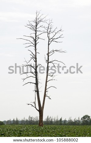dried tree as white isolate background