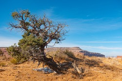 Dried tree in Utah yellow desert on canyon valley and blue sky background.