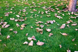 Dried tree leaves on a green grass. Scattered dead leaves on a lawn.