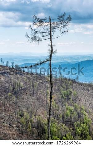Dried tree, Stolica mountains, Slovak republic. Forest calamity theme. Seasonal natural scene. Zdjęcia stock ©