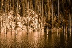 Dried trunks of Picea schrenkiana pointing out of water in Kaindy lake, Kazakhstan, Central Asia. Sepia shot.