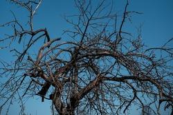 Dried twisted tree isolated on blue sky. Summer season.