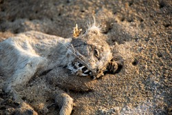 Dried up or mummified corpse of a cat on a beach, in the sand. Ribcage and part of the skull and teeth showing. Natural decomposing process accelerated by being in open air.
