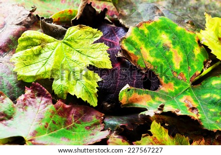 Dried vine leaves.Background.