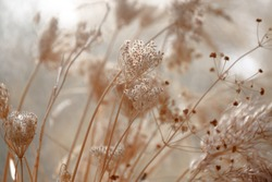 dried wild carrot flowers (Daucus carota) together with dried grass and spikelets beige close up on a blurred background