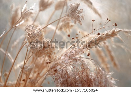 Photo of  dried wild carrot flowers together with dried grass and spikelets beige on a blurred background