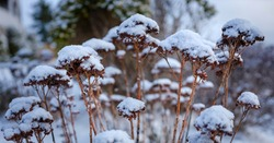 Dried wild plants covered with snow