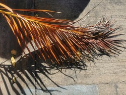 dried yellow betel Palm leaf and its Shadow on cement floor
