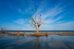 Driftwood Beach sunset in Jekyll Island. Dead Trees on the beach at sunset. Georgia, GA, USA.