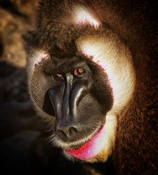 Drill Monkey Portrait
