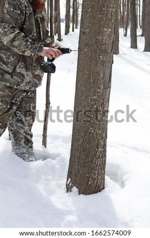 Drilling Tapholes in Maple Trees, Highgate Vermont Stock fotó ©