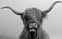 Drinan Highland Cow