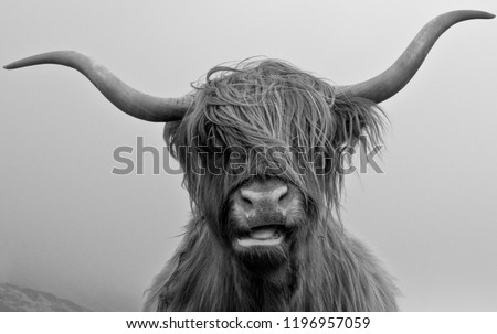 Drinan Highland Cow #1196957059