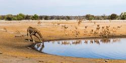 Drinking giraffe and black faced impala herd at Chudop waterhole in Etosha national park, Namibia. Panorama view.