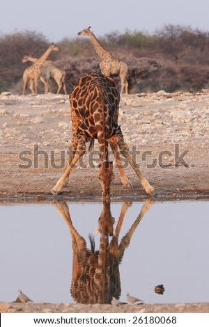 Drinking Giraffe at the waterhole in the Etosha National Park, Namibia