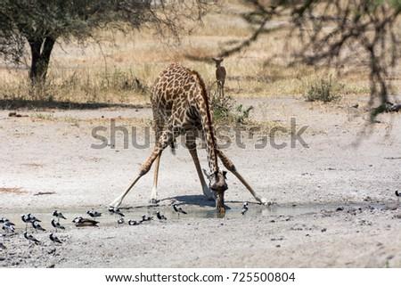 Drinking Giraffe / Trinkende Giraffe #725500804