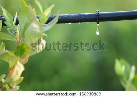 Drip Irrigation System Close Up. Water saving drip irrigation system being used in a Blueberry field.  Foto stock ©