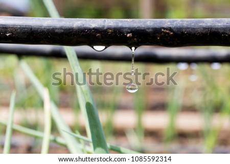 Drip Irrigation System Close Up. Water saving drip irrigation system being used in a organic onions field