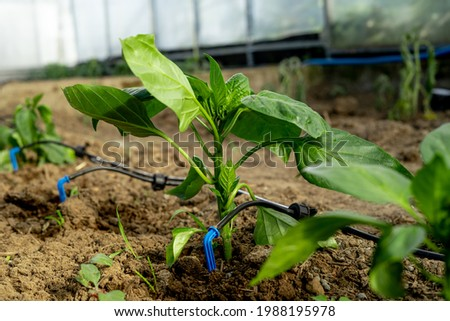 drip watering near the young pepper shoot. Foto stock ©