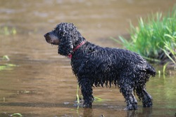 dripping black and tan hunting dog cockerspaniel standing in the river