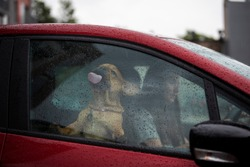 driver girl and her french bulldog puppy drive off in the rain on a red car