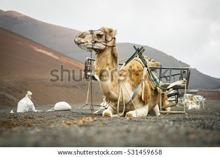 Dromedar, Camel sitting in deser area in Timanfaya National Park, Lanzarote, Canary Islands, Spain, Africa, Europe. Desert, semi desert, dry sand area. Animal for tourism, rides, two humps. Sitting.