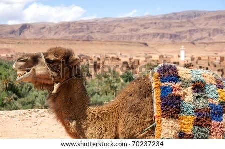 dromedary camel in morocco