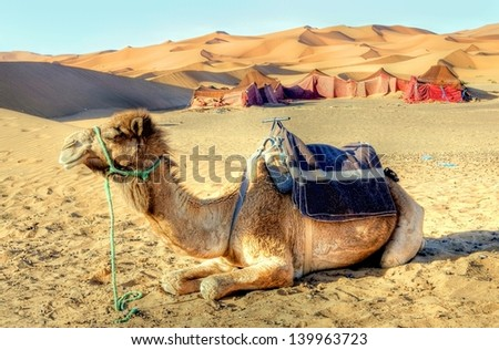 dromedary camel in the desert  - stock photo