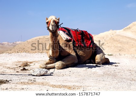 dromedary camel in the desert