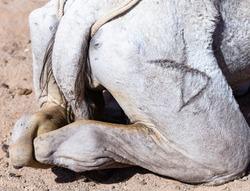 DROMEDARY croup marked with a hieroglyph. Arabian camel (Camelus dromedarius).