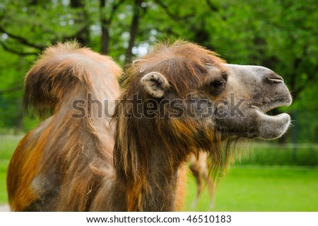 dromedary on a green background of trees