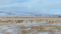 DRONE: A herd of untamed wild deer migrate across the snowy plains in Montana. Spectacular aerial view of a large family of elk running across the wintry landscape in rural part of the United States.