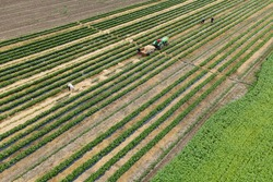 drone rotates around the agricultural workers with the tractor in the field, they put straw between the rows of strawberries. aerial view of farmers working on crop land in rows.