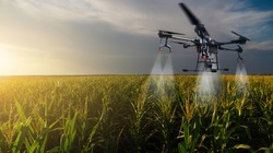 Drone sprayer flies over the corn field. Smart farming and precision agriculture