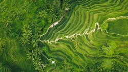 drone view of rice plantation in bali with path to walk around and palms