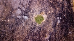 Drone view on a green tree on a post Forest fire-scorched land.