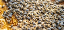 Drones on a wax frame surrounded by bee colonies. Beekeeping. Growing drones to select sperm. Artificial insemination of the queen bee with sperm of donor's drone